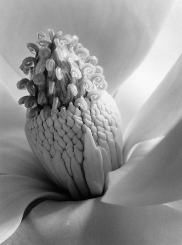 imogen cunningham Magnolia+Blossom,+Tower+of+Jewels,+1925.jpg