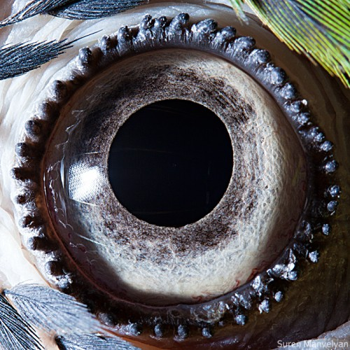 Suren Manvelyan blue-yellow macaw parrot.jpg