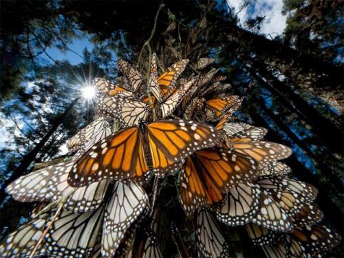 Joel Sartore, National Geographic photographer MonarchButterfliesMexico.jpg