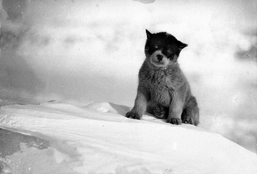Huskies in the Early 20th Century (15).jpg