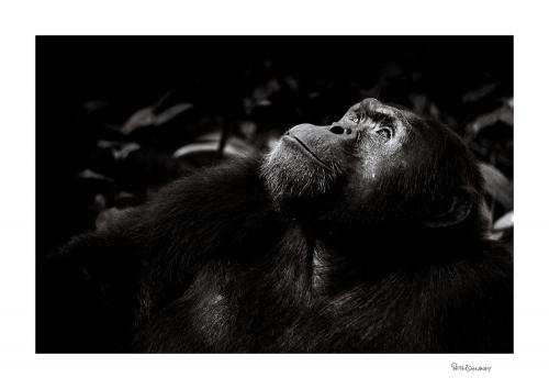 Peter Delaney Contemplation-Chimpanzee+portrait+wpy+.jpg