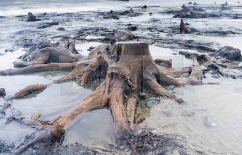 Keith Morris forêt de plus de 5000 ans détérrée par la tempête pays de galle.png