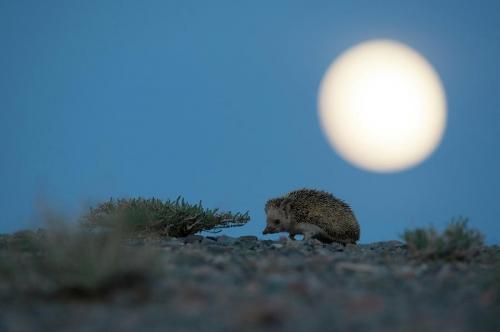Valeriy Maleev long-eared-hedgehog-at-night-gobi-desert-mongolia.jpg