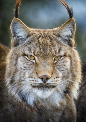 Mario Moreno lynx.jpg