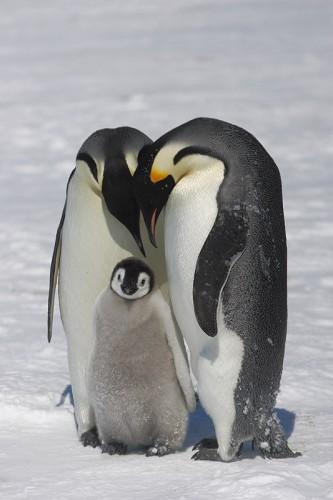 Olivier Paris Antarctique_Empereurs_3.jpg