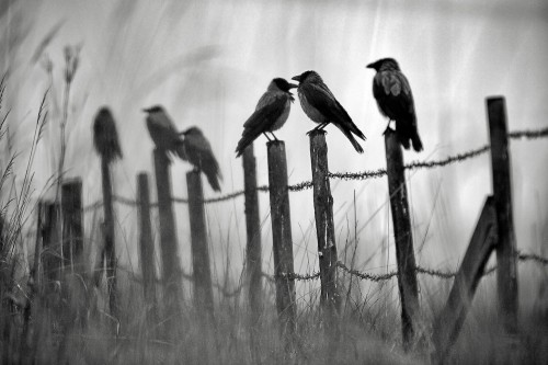 Sampo Kiviniemi Hooded Crows.jpg
