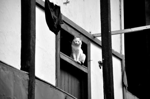 françois uditurier  el gato blancoo.jpg