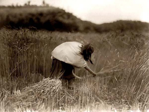 Edward S. Curtis Apache Woman Reaping and Gathering Wheat 1906.jpg
