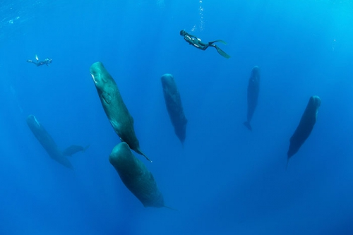 Franco Banfi sperm-whales-sleeping-0.jpg