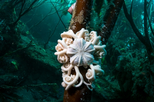 Justin Hofman Basket star Falkland Islands.jpg