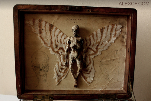 Homomimus Alatus (Common Fae) Merrylin Muséum coll.png