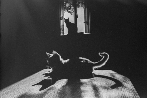Willy Ronis chat paris.jpg