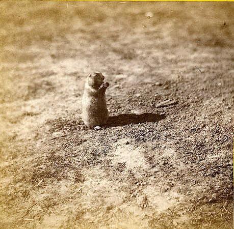 Alexander Gardner Prairie dog at prairie dog town, Abilene, Kansas. 447 miles west of St. Louis, Mo. 1867.jpg