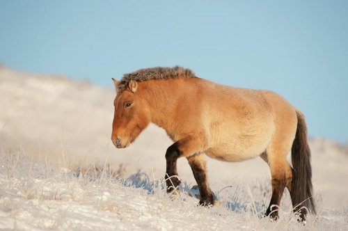 Valeriy Maleev przewalski-horse-khustain-nuruu-national-park-mongolia.jpg