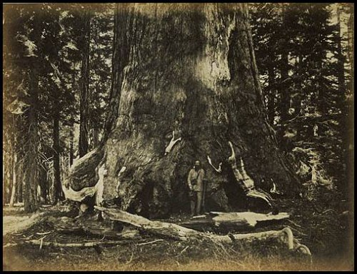Carleton E Watkins Part of the Trunk of the Grizzley Giant, Mariposa, California – 1861.jpg