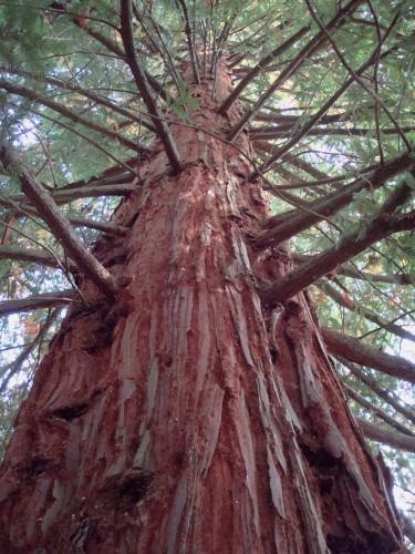 séquoiajardin de Lostanges corrèze.JPG