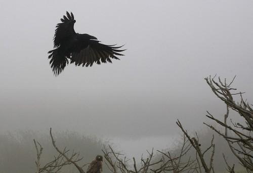 john curley crow and hawk.jpg