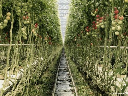 cédric delsaux Serre de tomates 1, Pays-Bas, 2008.jpg