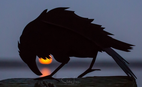 Shelley Lewis Raven and the Harvest Moon_o.jpg