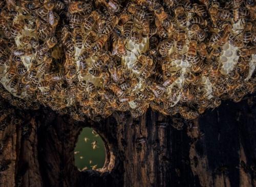 Ingo Arndt bees-honeycomb-beeswax.jpg