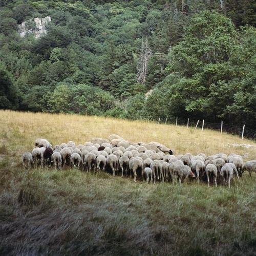 Antoine Bruy--maquis-sheep.jpg