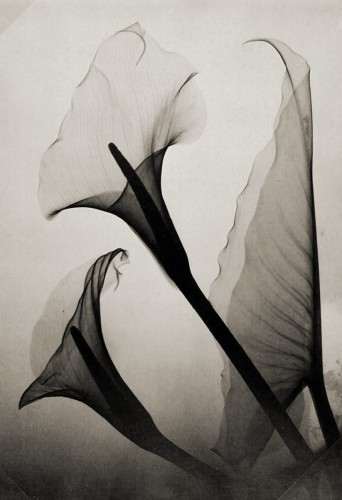 Thomas W. Louyle, Calla Lily X-Ray1930.jpg