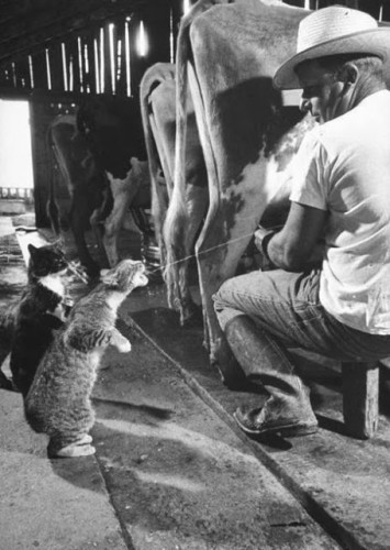 Nat Farbman - Cats Blackie & Brownie catching squirts of milk during milking at Arch Badertscher's dairy farm - 1954.jpg