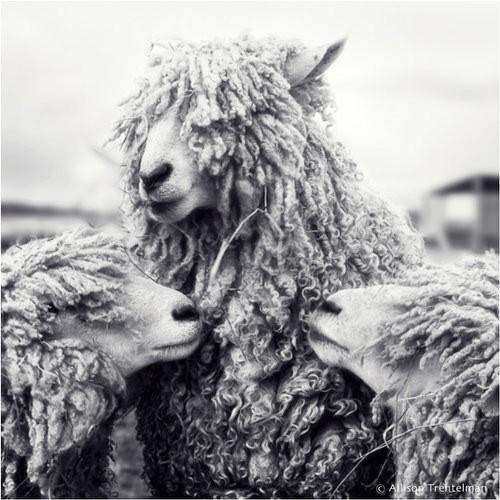 alison trentelman-three-sheep.jpg