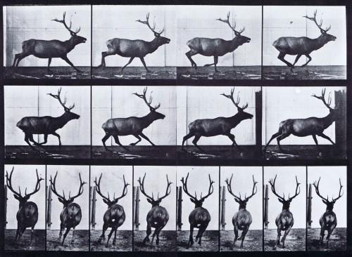 Eadweard Muybridge Animal Locomotion, Elk, 1887.jpg