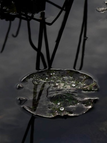 raphaële colombi lotus sacrés 766.jpg