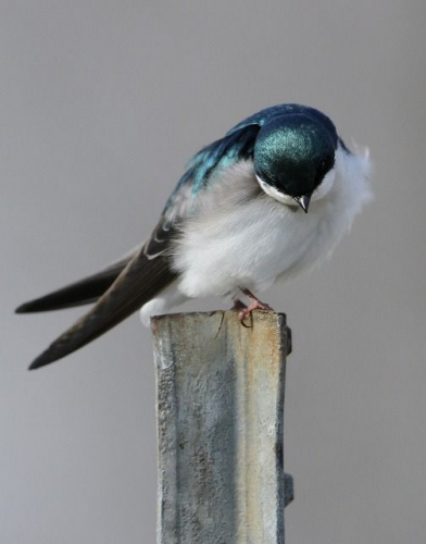 Bowing Tree Swallow    _540.jpg