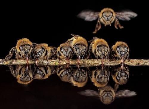 Ingo Arndt bees-drinking-water.jpg