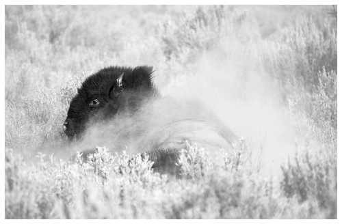 chuck kimmerle Angry Bison Rolling in Dirt.jpg