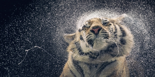 Tim Flach Tiger_shaking-copy-1020x510@2x.jpg