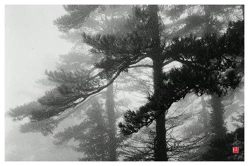 Fou-li TCHAN. the glowing pines.jpg