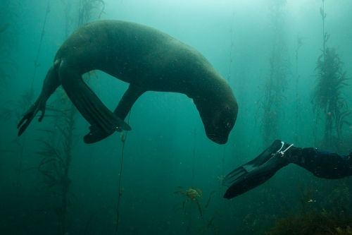 Justin Hofman Southern sea lion Falkland islands_s_2.jpg