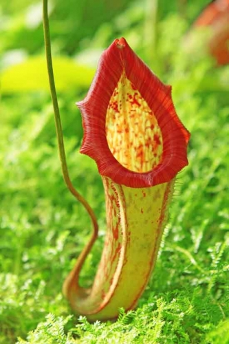 Nepenthes attenboroughii .jpg