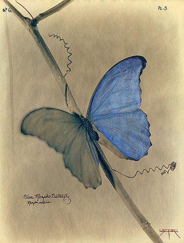 Laszlo Layton, Blue Morpho Butterfly (After Heade), 2003 .jpg