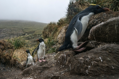 Justin Hofman Rock hopper Falkland islands.jpg