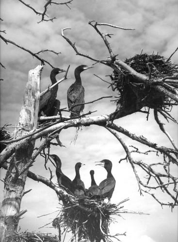 Ellen Auerbach, 1941. Kormorane, .jpg