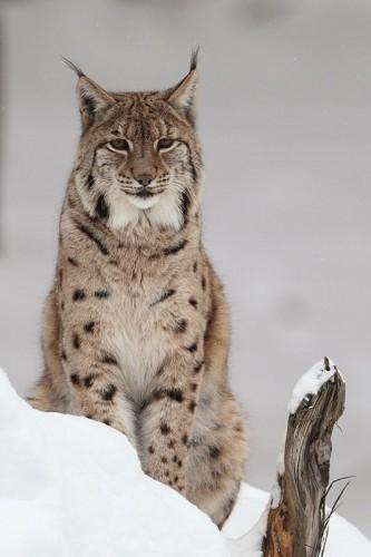 olivier paris Lynx_7.jpg