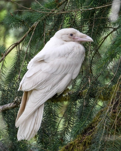 Mike Yip  White Raven, Coombs, Vancouver Island, Canada.jpg