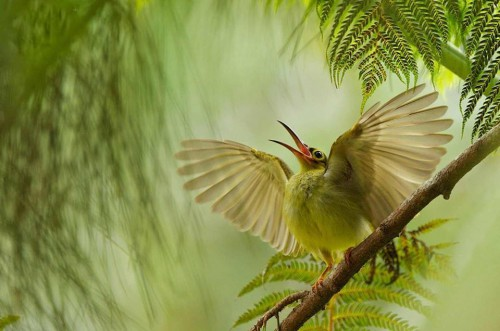 Bjorn Olesen juvenile spiderhunter  trying to get the attention of its parents at the Borneo Highland Resort, in Sarawak, Malaysia.jpg