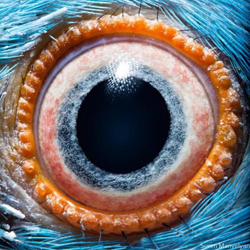 Suren Manvelyan kramer's parrot.jpg