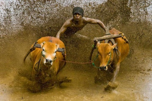muhammad-fadli-the-pacu-jawi-cow-race.jpg
