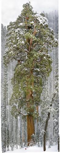 Sequoia géant le Président.jpg