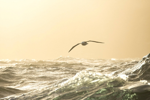 Justin Hofman Black-browed albatross Falkland Island_s_2.jpg
