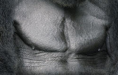 Tim Flach_western-lowland-gorilla-chestjpg.jpg