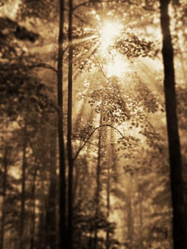 Timothy K Hamilton sunlight trees.jpg