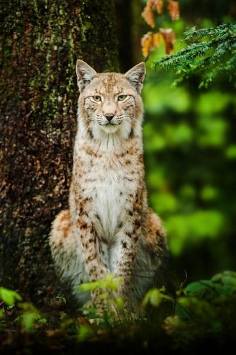 Stefan Betz lynx.jpg